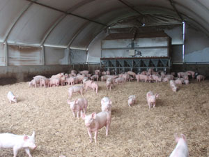 Pigs in open shed